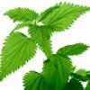 nettle_leaf